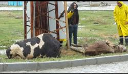 Kulu'da Elektrik Akımına Kapılan  İki Büyükbaş Hayvan Telef Oldu.