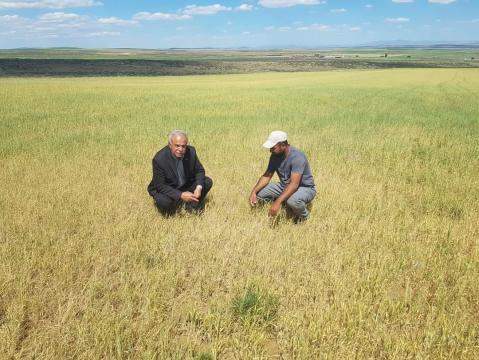 Kulu'da kuraklıktan ekili alanlar kuruyor